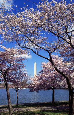 Click to view full size image  ==============  Kirschblüte,Washington,DC Kirschblüte,Washington,DC Keywords: Kirschblüte,Washington,DC